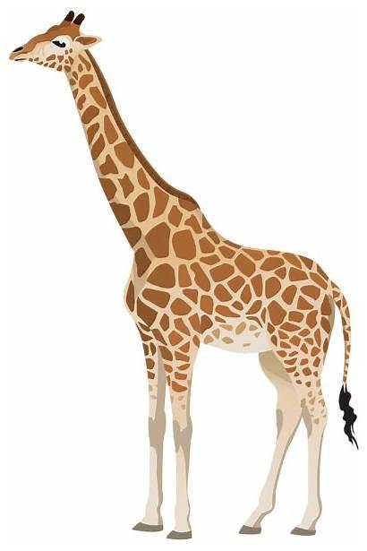 Giraffe Clipart Giraffes Animals Transparent Clip Background