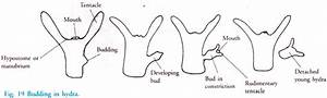 Reproduction in Animals: Asexual and Sexual (With Diagram ...