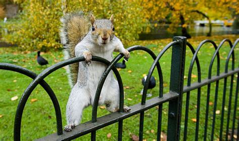 villainous super squirrel   myth scotland news