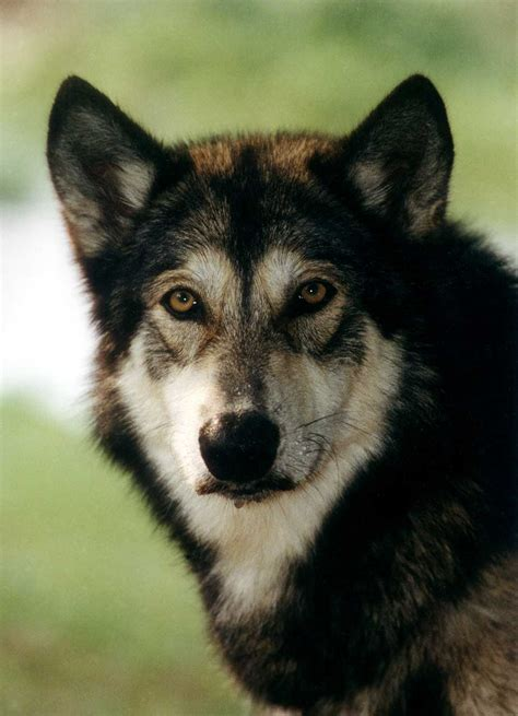 wolf hybrid north carolina toddler attacked by coyote hybrid alaska fish game charge wolf hybrid buyers