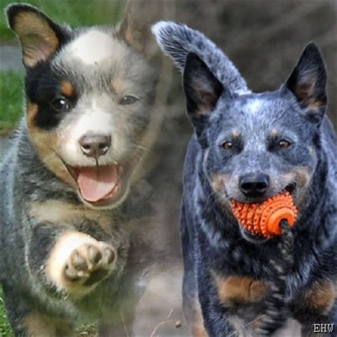 das grosse australian cattle dog portal