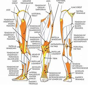 Muscle And Tendon Characteristics