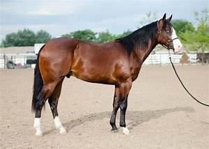 Bay Quarter Horse | Bay Quarter Horse Stallion Reining ...