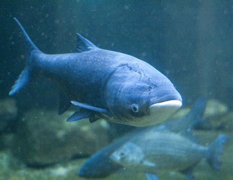 asian fish wksu news asian carp found six miles from lake michigan