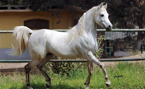 horse arabian most egypt away prized passes million well