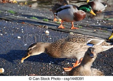 stock photography of wild ducks eating bread in hjo