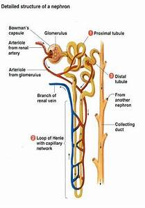 Anatomy Of Nephron