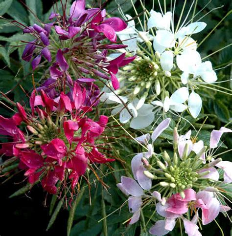 cleome flower 2 guys growing easy to grow color