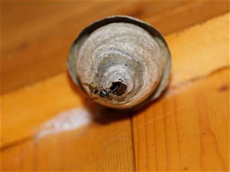 wespennest entfernen der richtige umgang mit wespen