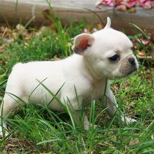 French Bulldog puppy photo and wallpaper. Beautiful French ...