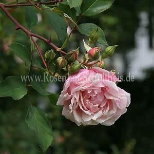 Rosen Düngen Im Frühjahr : albertine rosen online kaufen im rosenhof schultheis rosen online kaufen im rosenhof schultheis ~ Orissabook.com Haus und Dekorationen