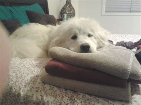 Great Pyrenees Shedding by Great Pyrenees Temperament Pets World