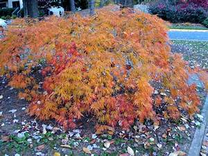 Japanese Maple | the squirrel nutwork  Maple