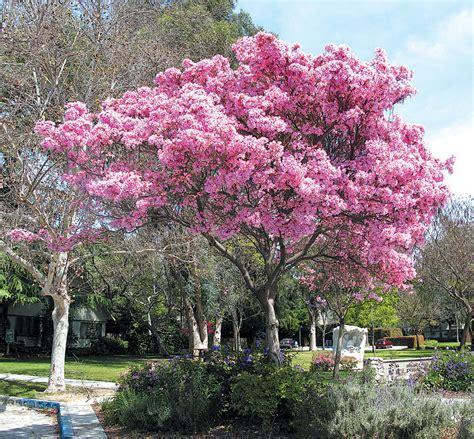 pink jacaranda tree pics for gt pink jacaranda tree