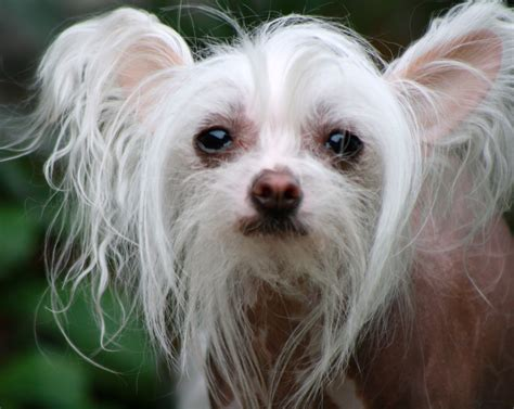 chinese crested toy dog | ««Puppies are from Heaven ...