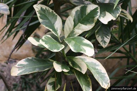 Pisonie (pisonia Umbellifera) › Zimmerpflanzen Pflege