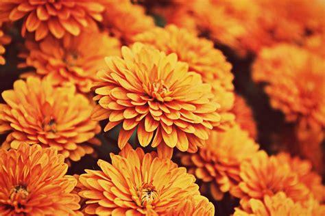 orange mums orange and purple flowers the knot
