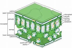Epidermis  Botany