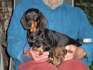 Miniature Smooth Haired Dachshund Puppies For Sale | Dover ...