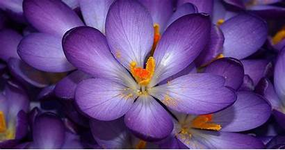 Purple Flowers Crocus Wallpapers