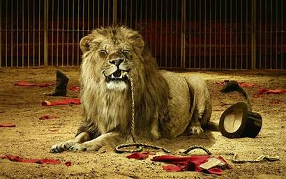 Lion Wallpapers Sher Babbar Ke Layan Desktop
