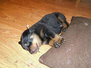female rottweiler puppy.jpg (1 comment) Hi-Res 720p HD
