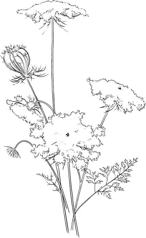 queen annes lace coloring pagegif
