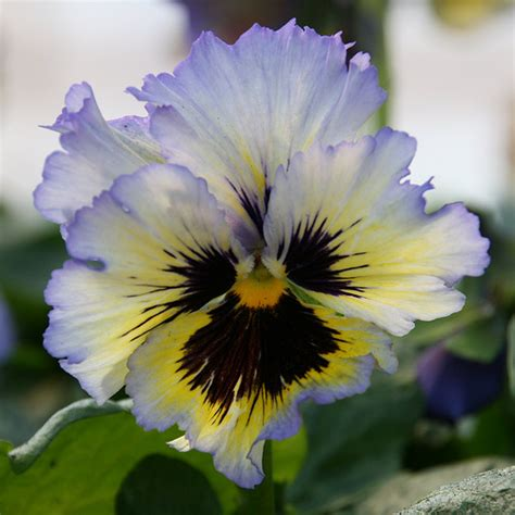 pansy flower pansy flower pictures meanings purple pansy flowers