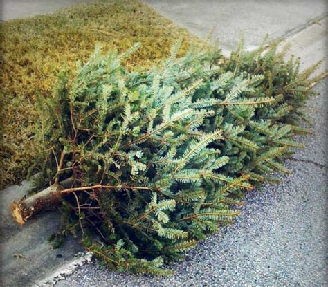 christmas tree removal advance junk removal