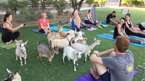 goat yoga las vegas offers  adorable   practice