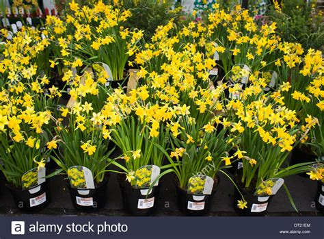 tete a tete narcissus plants for sale in garden centre