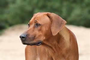 do rhodesian ridgebacks shed bunkblog