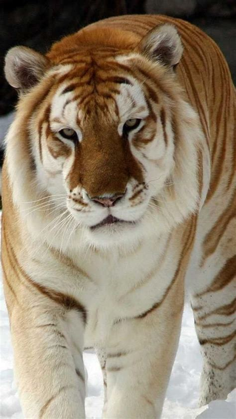 Golden Tabby Tiger Animals Big Cats Cute