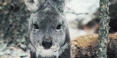 Fuck Cutie Deer Musk Siberian Gifs Looks