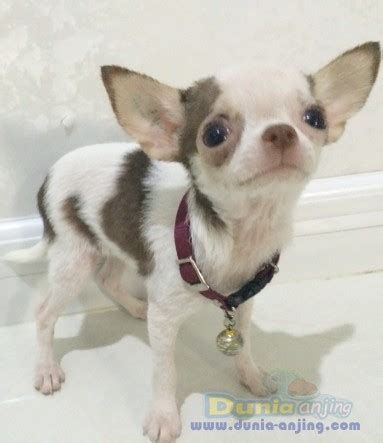 dunia anjing jual anjing chihuahua jual mini chihuahua