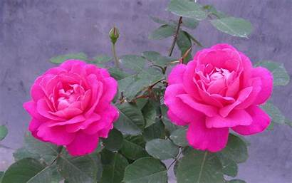 Rose Flowers Wallpapers Whatsapp Flower Pink Greepx