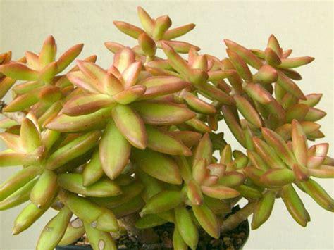 sedum succulent sedum nussbaumerianum coppertone stonecrop world of succulents