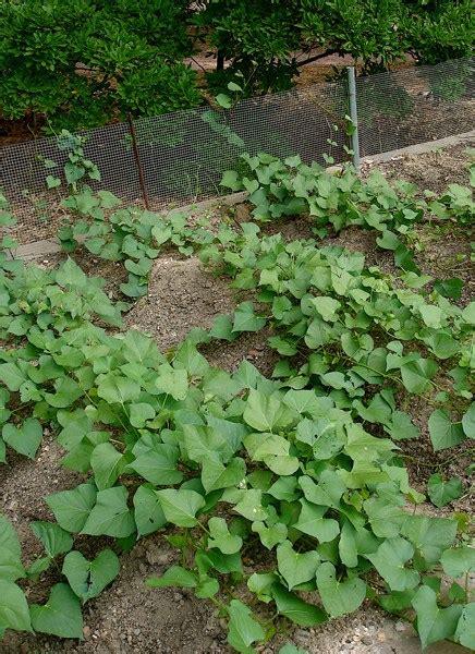 what happens when you plant a potato growing sweet potatoes bonnie plants