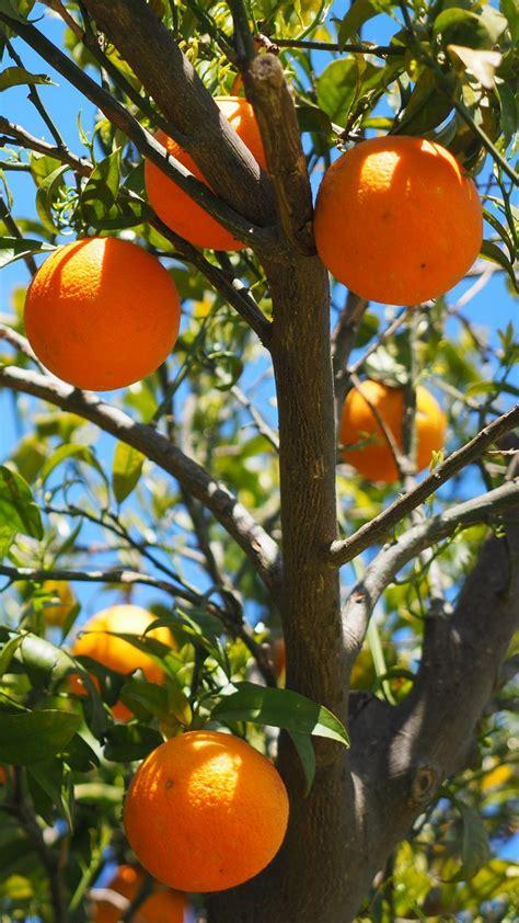 wallpaper  oranges fruit orange tree