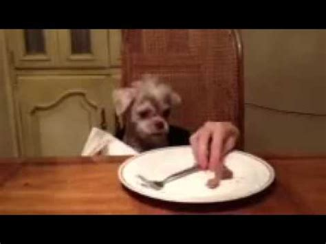 dog eating at table funny dog eating at table youtube