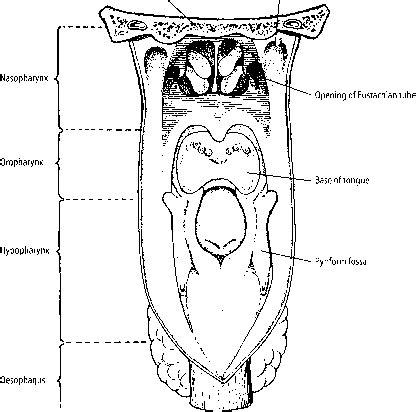 aryepiglottal folds  lymphoid tissue lymph nodes