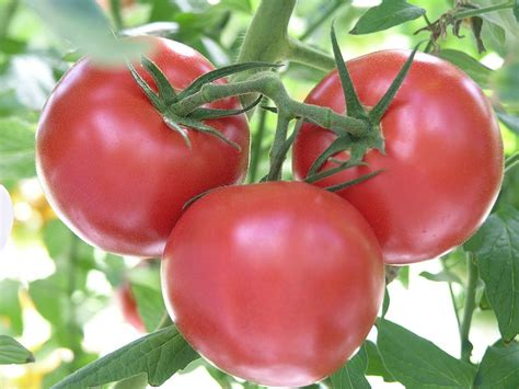 tomato varieties north carolina