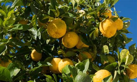 Limone In Vaso Cure by Limoni In Vaso Come Curarli Tutti I Segreti Leitv