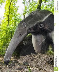 Giant Anteater (Myrmecophaga Tridactyla) Eats Ants Stock ...
