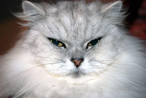 fat cat gordos gatos cats file tuesday commons wikimedia