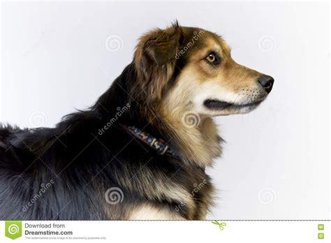 dog side profile stock photo image  shepherd white