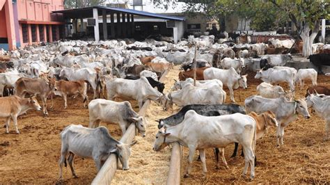 12 by 12 shed cattle trade for slaughter supreme court suspends ban