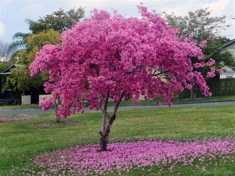 pink flowering trees national tree of paraguay lapacho tree 123countries com