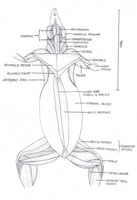 anatomy  rat musculature ventral view zoology rats