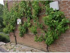 Supporting Climbing Plants On Walls – Peter Donegan Landscaping Dublin